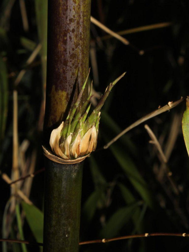 'Explosive' branching of Borinda fungosa.