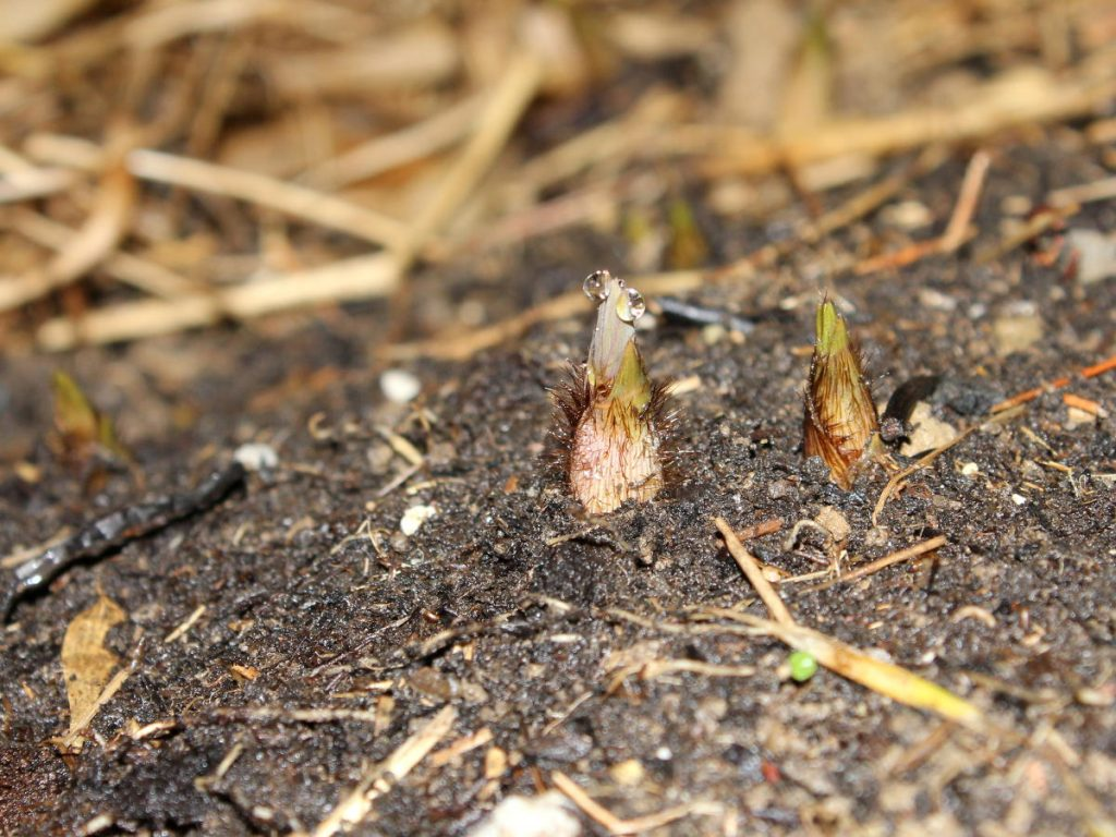Hairy F. Rufa shoots starting to emerge.
