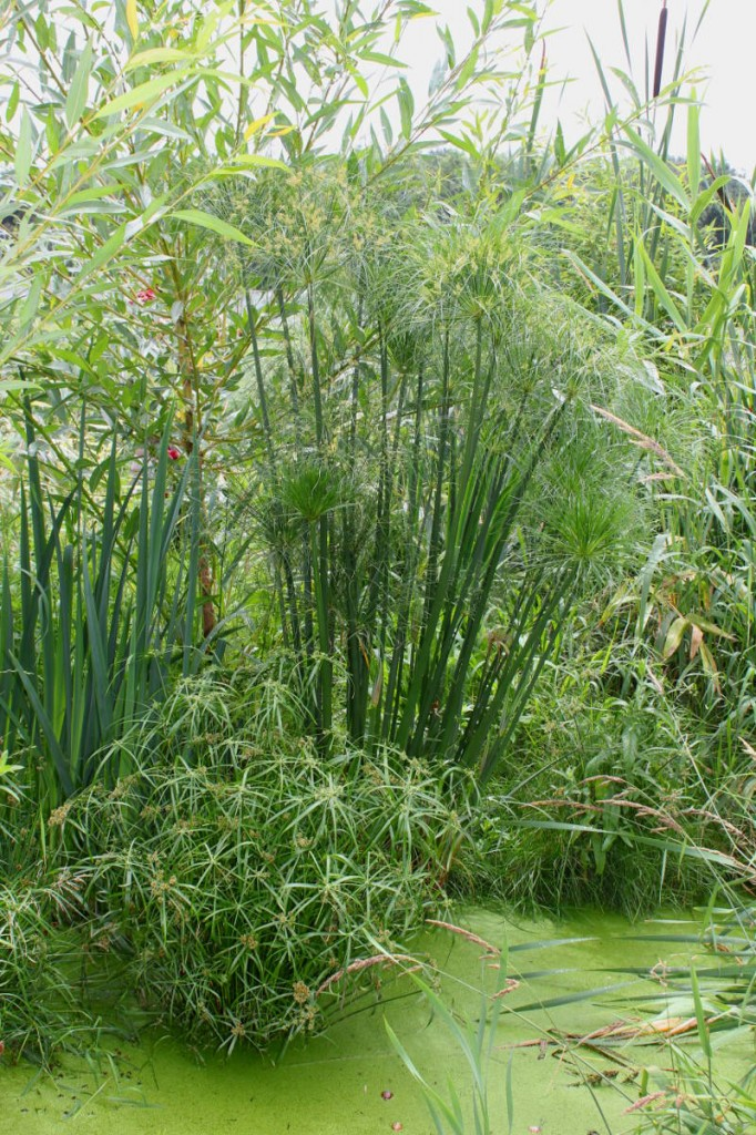 Cyperus papyrus on the right and Cyperus alternifolius on the bottom left part of the photo. Swamp is getting crowded.