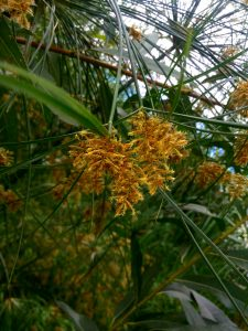 Detailed photo of blooming Cyperus papyrus.