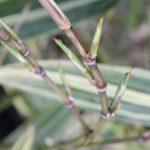 Hibanobambusa tranquillans Shirosima's elongated buds.