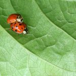 chinese-ladybugs