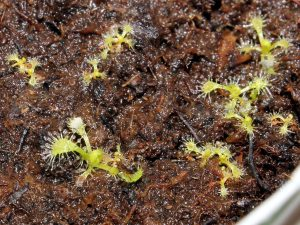 One month old Drosera capensis alba seedlings.
