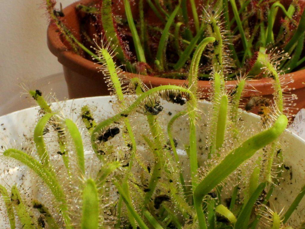 Drosera capensis 'alba' before