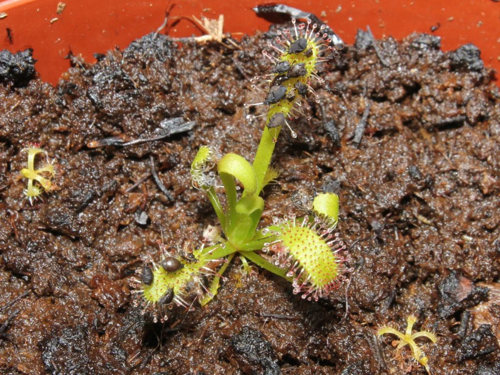 Aphids can be easily fed to young Drosera seedlings.