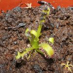 Feeding Sundew Seedlings