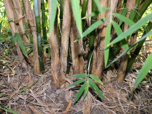 B. fungosa clump is not as dense as with some other clumping bamboos.