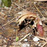 Borinda fungosa – 2015 upsize