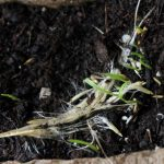 Tiny pampas seedlings