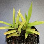 Variegated Phyllostachys arcana 'Luteosulcata' seedling