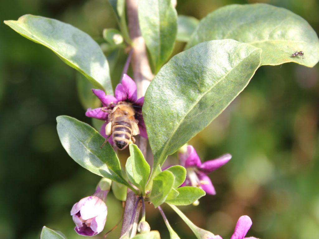 Bee carrying Goji flower pollen on its legs
