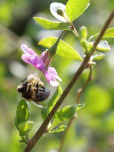 Goji flowers attract bees