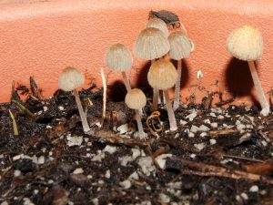 Bamboo seedlings sprouting among mushrooms