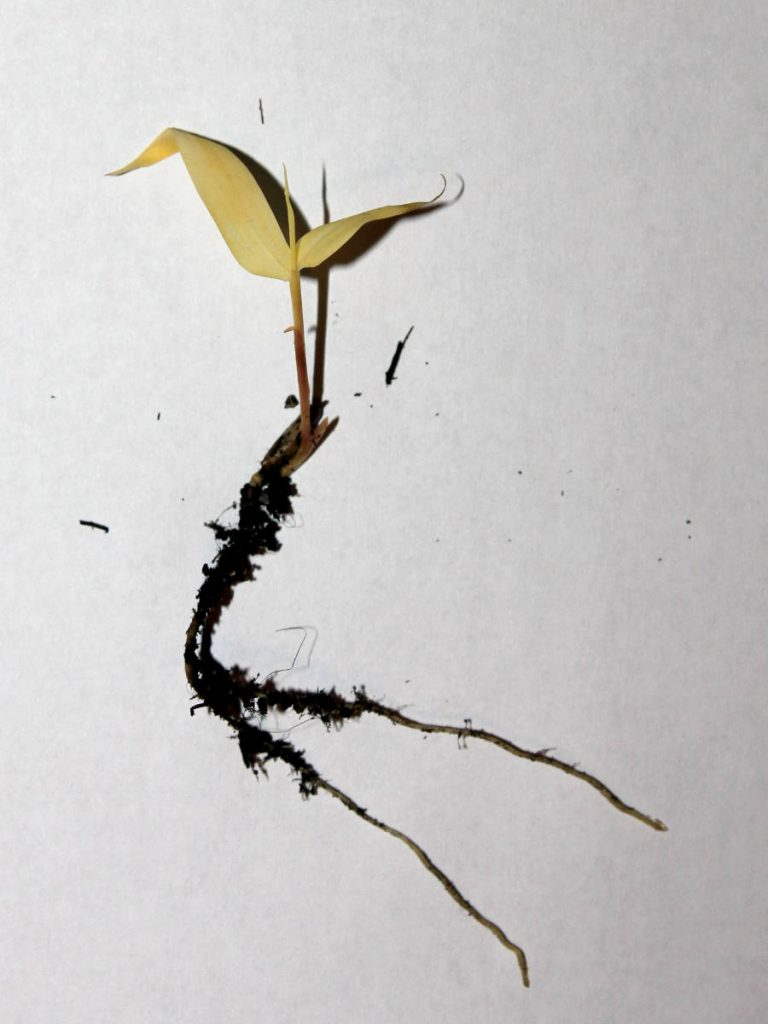 Albino seedling with fully developed roots