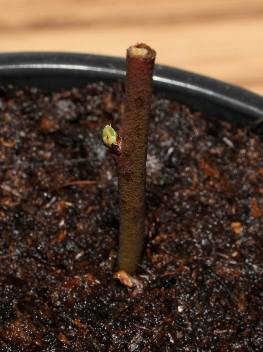 Propagation Of Blueberries By Cuttings