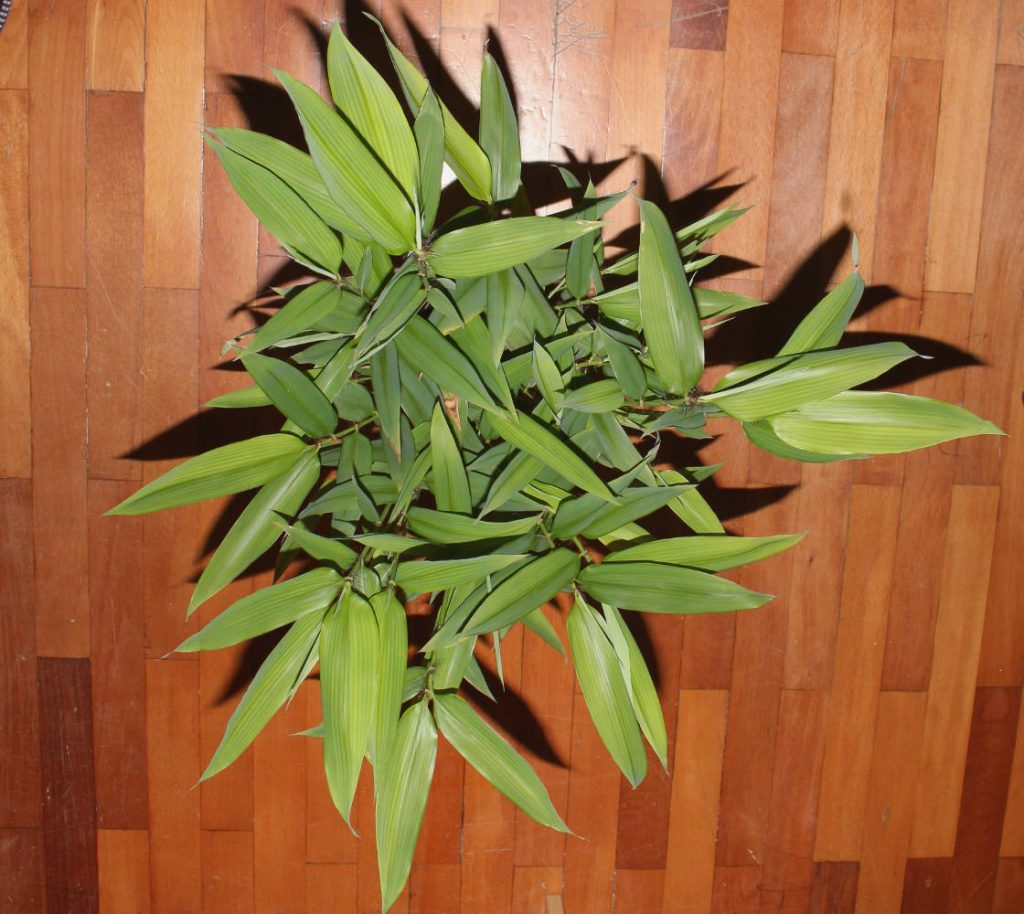 Largest leaves are over 15cm long