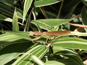 Brown version of Chinese praying mantis