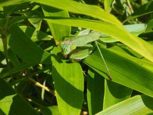 Chinese mantis resting