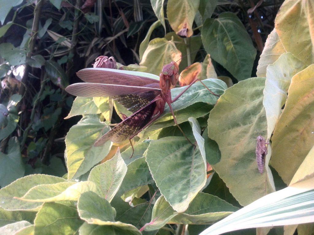 Praying mantis in fighting position