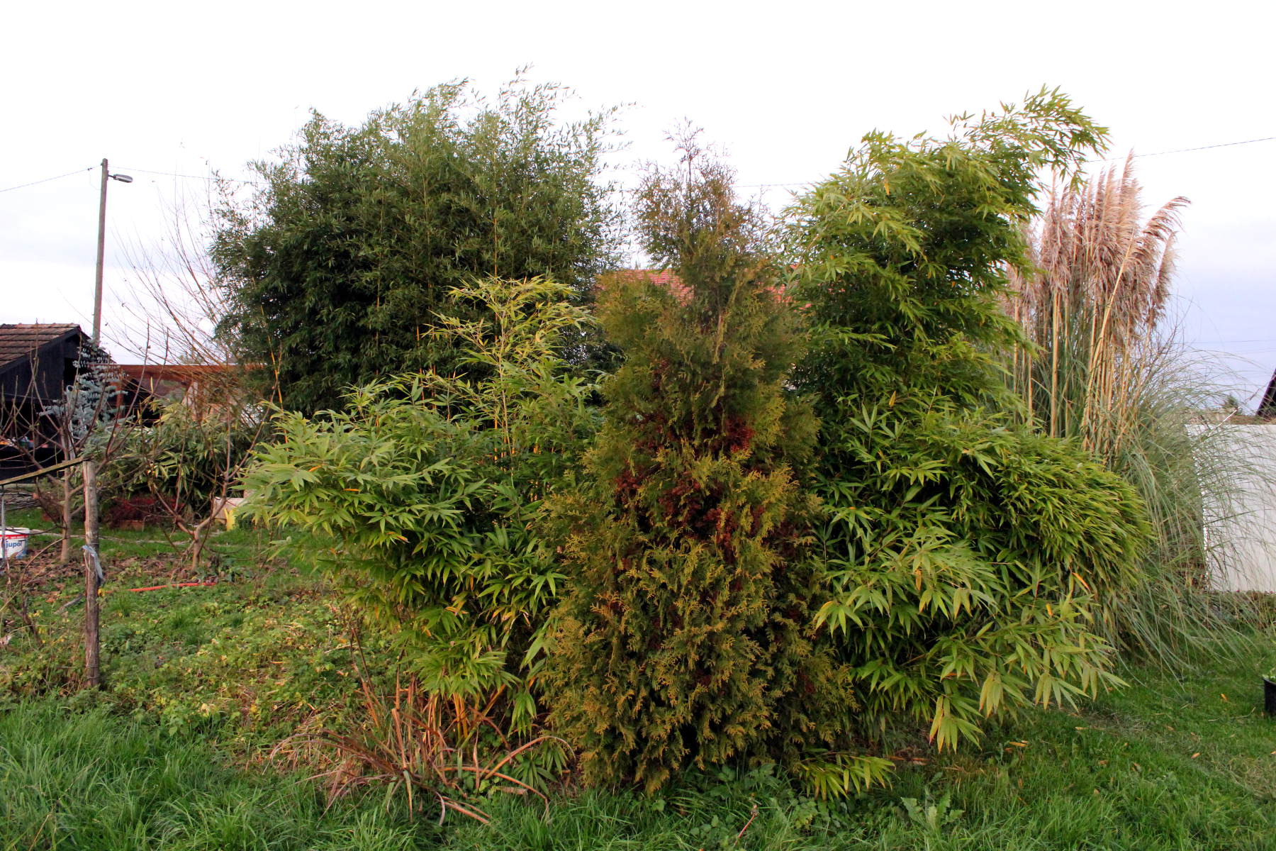 phyllostachys pubescens 'Moso' fall 2016