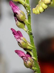 Aphids roaming around the flower stalk