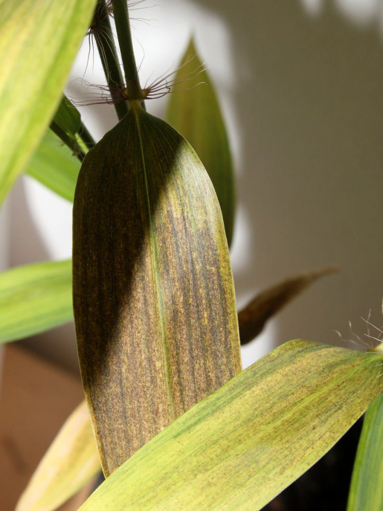 In the end, leaf becomes almost completely brown, turns yellow and falls off.