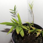 Variegated Phyllostachys arcana 'Luteosulcata' seedlings – Winter 2016/2017
