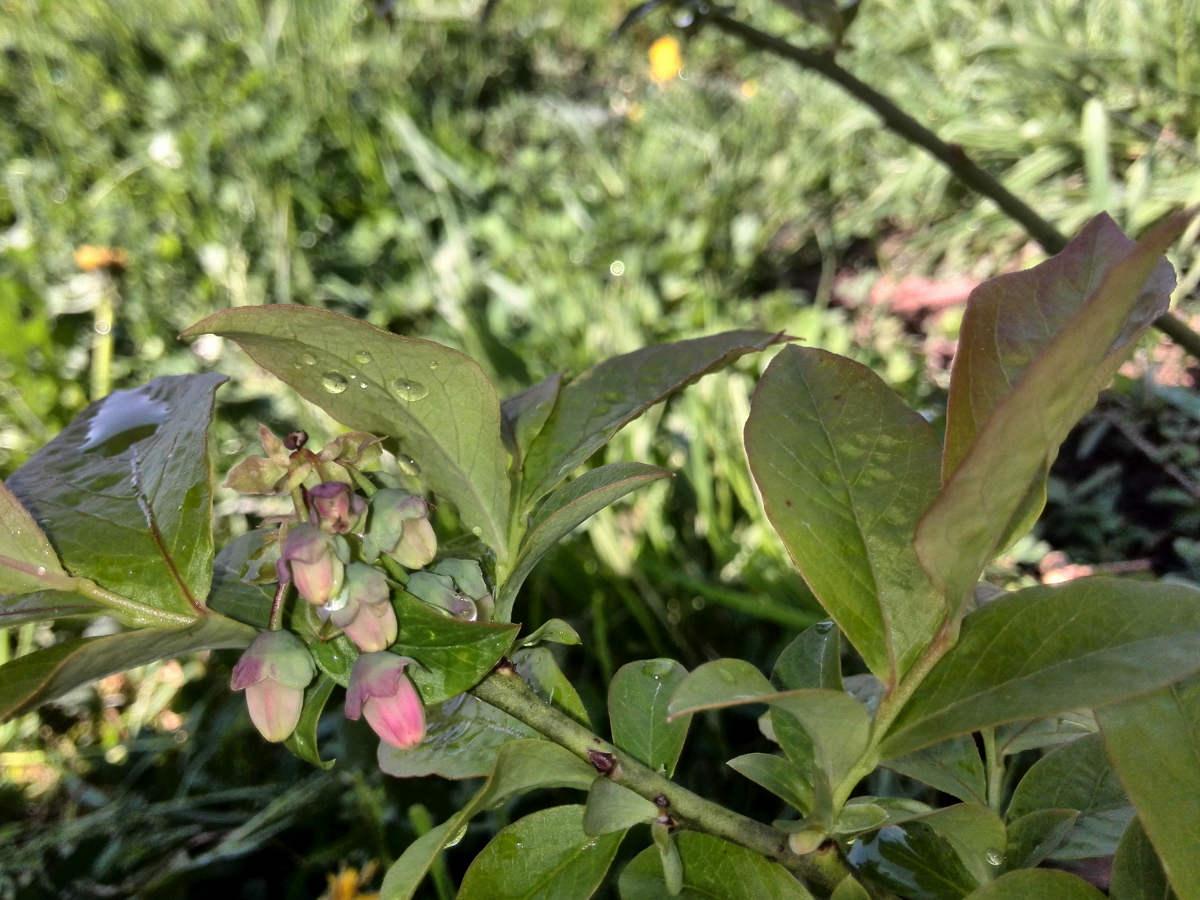 blueberry seedlings update