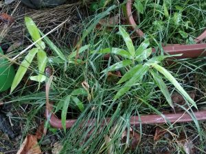 Bamboo seedlings don't like to grow in small pots