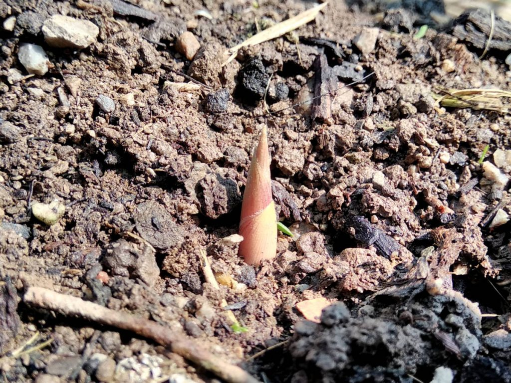 Pink shoot right after it emerged. Quite large compared to other shoots and last year's growth.
