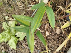 Interesting variegation on one of the culms