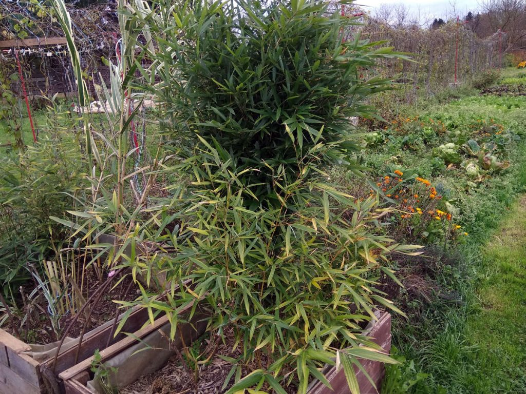 Variegated seedling in front and regular dark green form of Phyllostachys arcana 'Luteosulcata' seedlings
